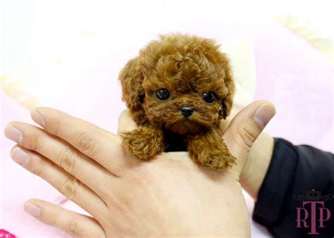 do teacup morkies shed cafechoo image teacup dogs that don t shed