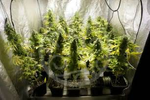 chambre de cannabis chambre de culture complete cannabis guide de la culture