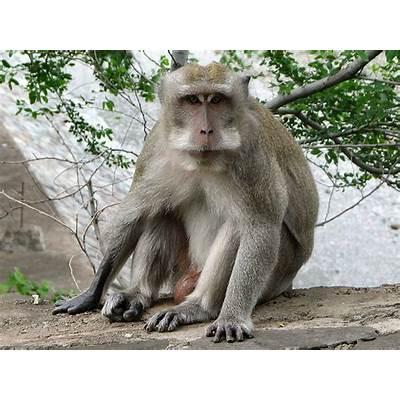 Picture 4 of 6 - Crab-Eating Macaque (Macaca Fascicularis