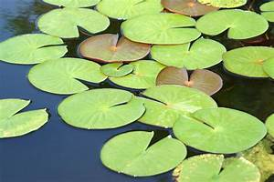 Water Lily Leaves Stock Photo  Image Of Nature  Water