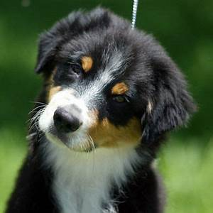 All About Australian Shepherds: Treats And Chews ...
