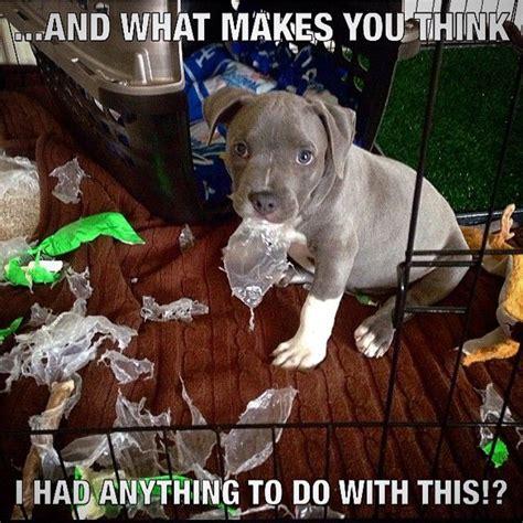 Pitbull Puppy Meme - 2269 best images about cute animal memes on pinterest