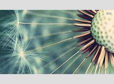 Dandelion Wallpapers WallpaperSafari