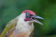 Vogel Mit Roter Brust : groene specht wikipedia ~ Eleganceandgraceweddings.com Haus und Dekorationen