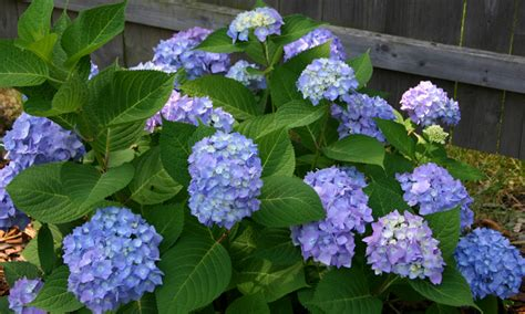 hydrangea plant hydrangeas