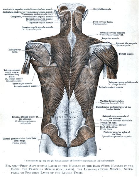 Study on the go by downloading the app on your mobile phone. 507. First (superficial) layer of the muscles of the back ...