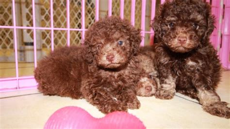 adorable dark chocolate brown toy poodle puppies