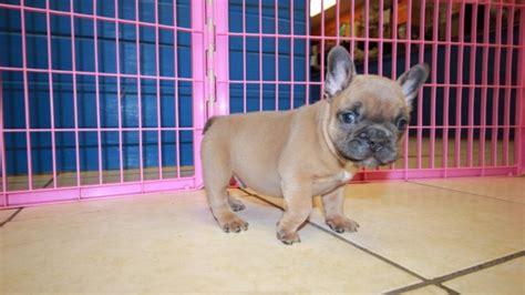 pretty lilac fawn  blue eyes french bulldog puppies