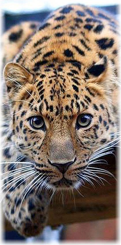 coolest jaguar cat 17 best ideas about animals on pictures