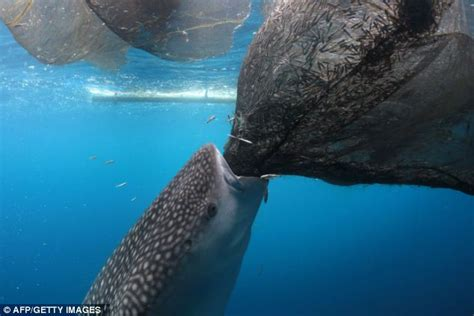 Cheeky Habit Of Whale Sharks Stealing From Fishing Nets Is