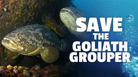 grouper goliath endangered critically fwc florida wildlife fish fishing protect commission change conservation