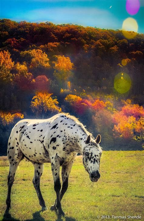 horses appaloosa autumn leopard horse colors appaloosas pretty chevaux sauvages tanmay fall walking shende 500px via uploaded user