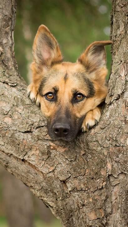 Shepherd German Wallpapers Dog Dogs Iphone