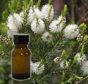 tea tree hydrosol wholesale supplier and manufacturer in india