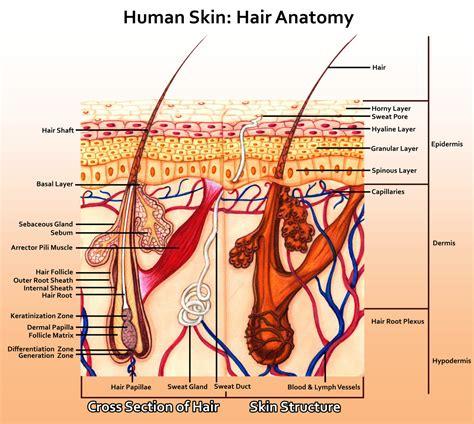 human skin hair anatomy the art colony