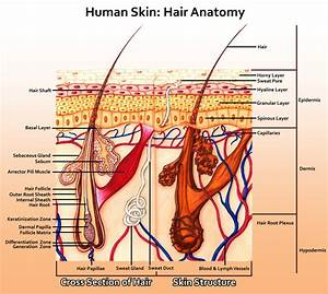 Human Skin Hair Anatomy - The Art Colony