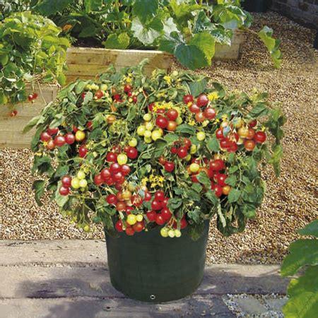 patio tomato planter patio tomato kit tasty cherry tomatoes grown on the patio