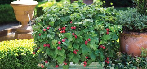 can raspberries be grown in containers trees shrubs garden plantings annapolis maryland homestead gardens inc
