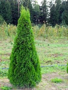 Thuja Smaragd Braun : thuja smaragd hecke lebensbaum hecke 39 thuja smaragd 39 ~ Lizthompson.info Haus und Dekorationen