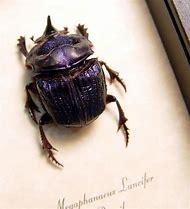 Scarab Beetle Framed