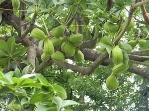 Indian trees: Sterculia foetida - Wild Almond