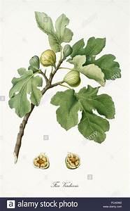 Profondeur Des Racines D Un Figuier : couple de figs sur leur branche avec des feuilles de figuier et la section d 39 un seul fruit isol ~ Nature-et-papiers.com Idées de Décoration
