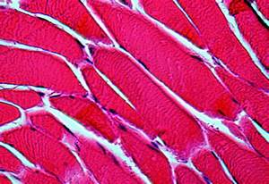 Healing Muscle Tissue Gets Help From A New 3d Cell