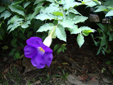 thunbergia erecta wikispecies