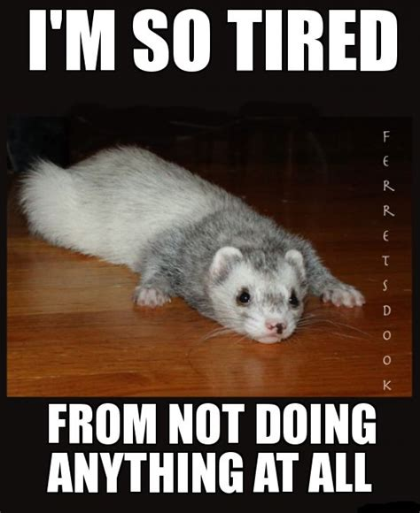 Ferret Memes - 17 best images about ferrets on pinterest funny side a
