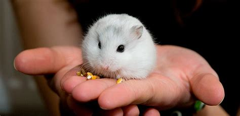 Was Essen Mäuse Gerne by Hamster Siberiano