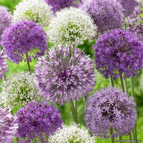 allium bulbs purple blend mix american