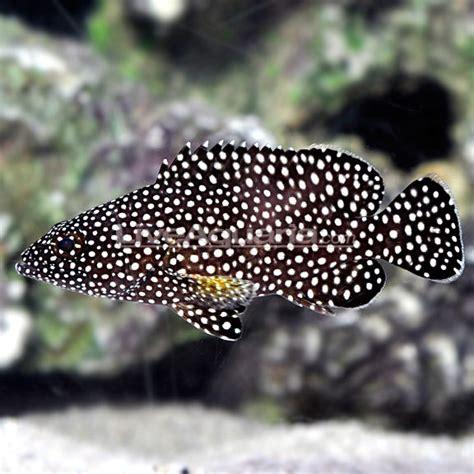 grouper spotted species liveaquaria