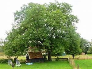 Bomenstichting Achterhoek  Monumentale Notenboom