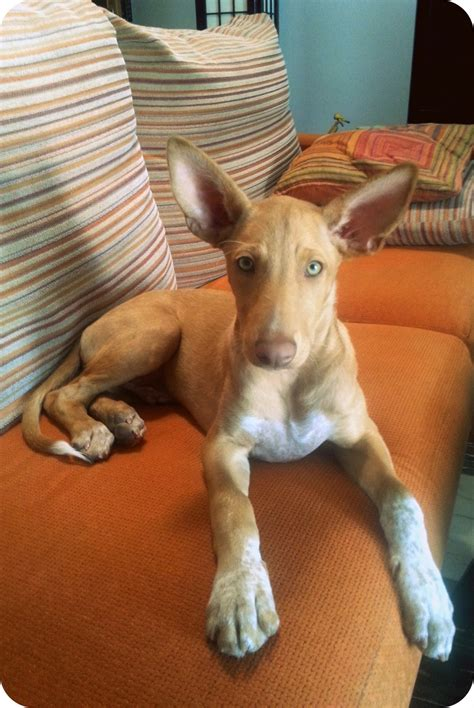 podenco hound andalusian dog breed andaluz breeds meses plom dogs puppies pharaoh puppy months medium vs pets unique podencos etna