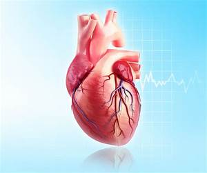 Left Coronary Artery  Anatomy  Function  And Significance