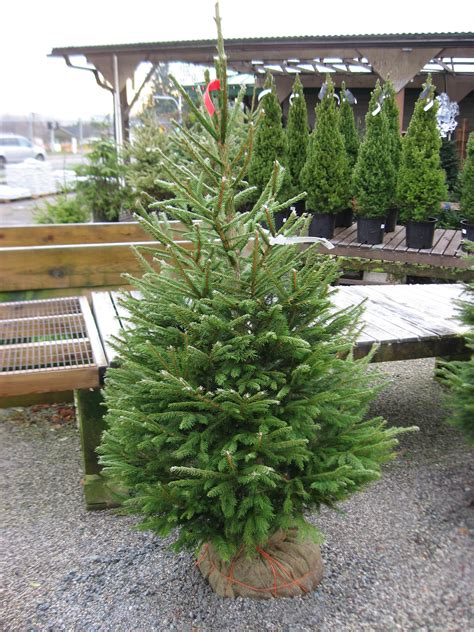 Grand Fir Huntersgardencentrecom