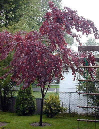 purple leaf trees 15 best trees images on pinterest front gardens front yards and plants