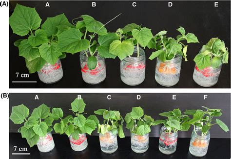 Cucumber Plant Stages  Google Search  Home Sweet Home Pinterest