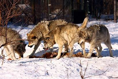 Wolves Fighting Timber