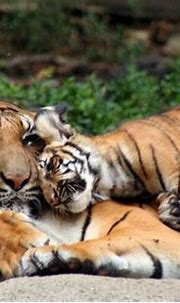 Pin by Han on Tigers | Cincinnati zoo, Tiger pictures ...