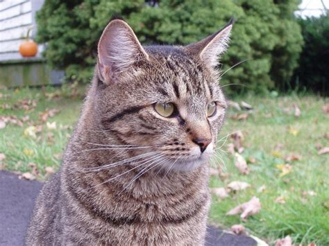 average cat lifespan did you know the average lifespan for an outdoor cat is just 3 to 5 years while indoor cats