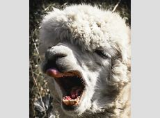 Kostenloses Foto Alpaka, Kopf, Tier, Tierportrait