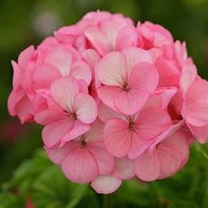 Divas Ice Rose Geranium