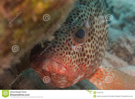 caribbean grouper fish mexican reef royalty