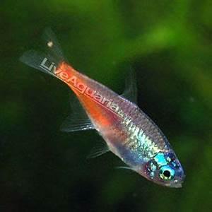 Tropical Fish for Freshwater Aquariums Diamond Head Neon