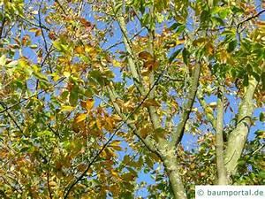 Ahorn Frucht Name : cissusblaettrige ahorn acer cissifolium ~ Frokenaadalensverden.com Haus und Dekorationen