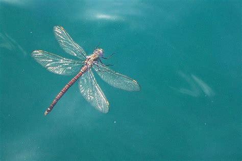 dragonflies images  pinterest dragon flies