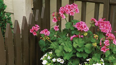 plant geraniums in containers southern living
