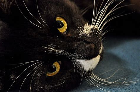 do cats shed their whiskers cat whiskers why do cats whiskers what do cat