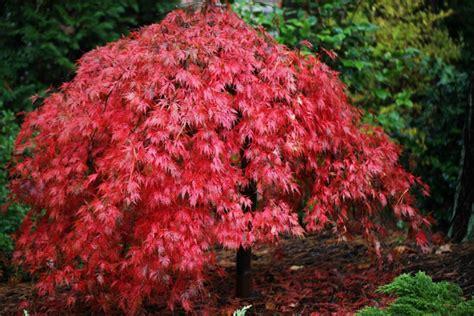 Japanischer Ahorn Im Garten